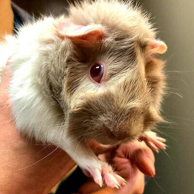 fluffy-hamster