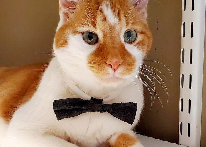 cat-with-bowtie